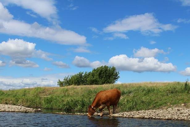 Kuh trink am Fluss