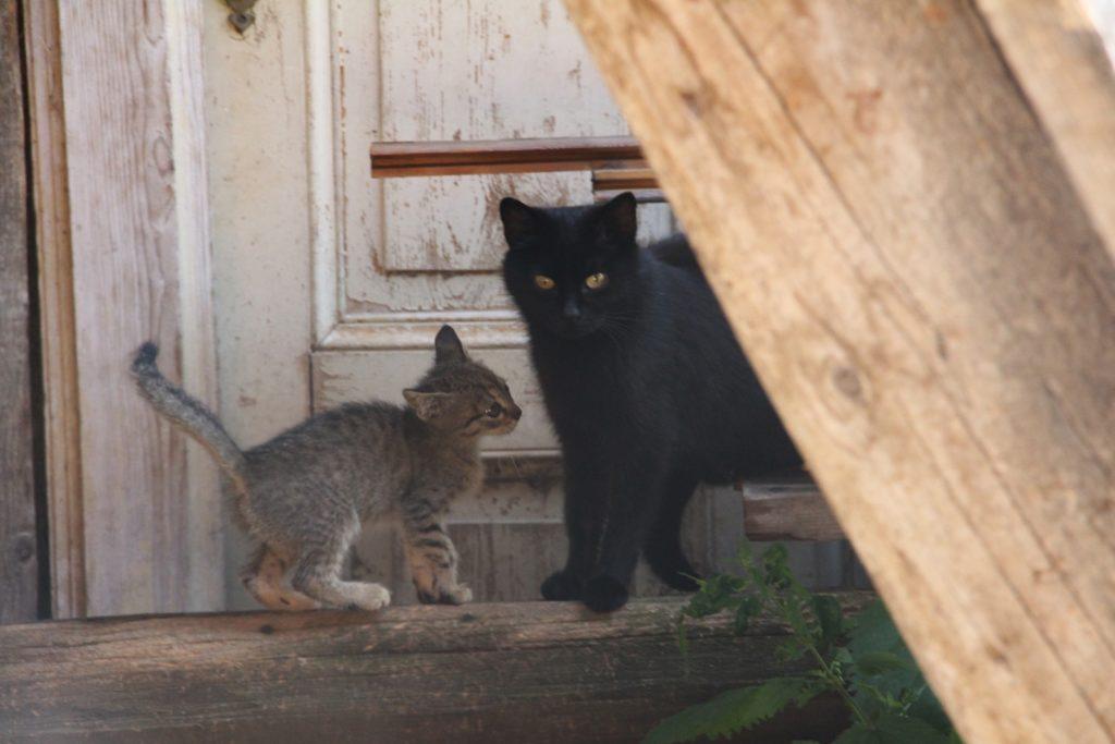 kleine Katzen auf dem Meraner Höhenweg Info