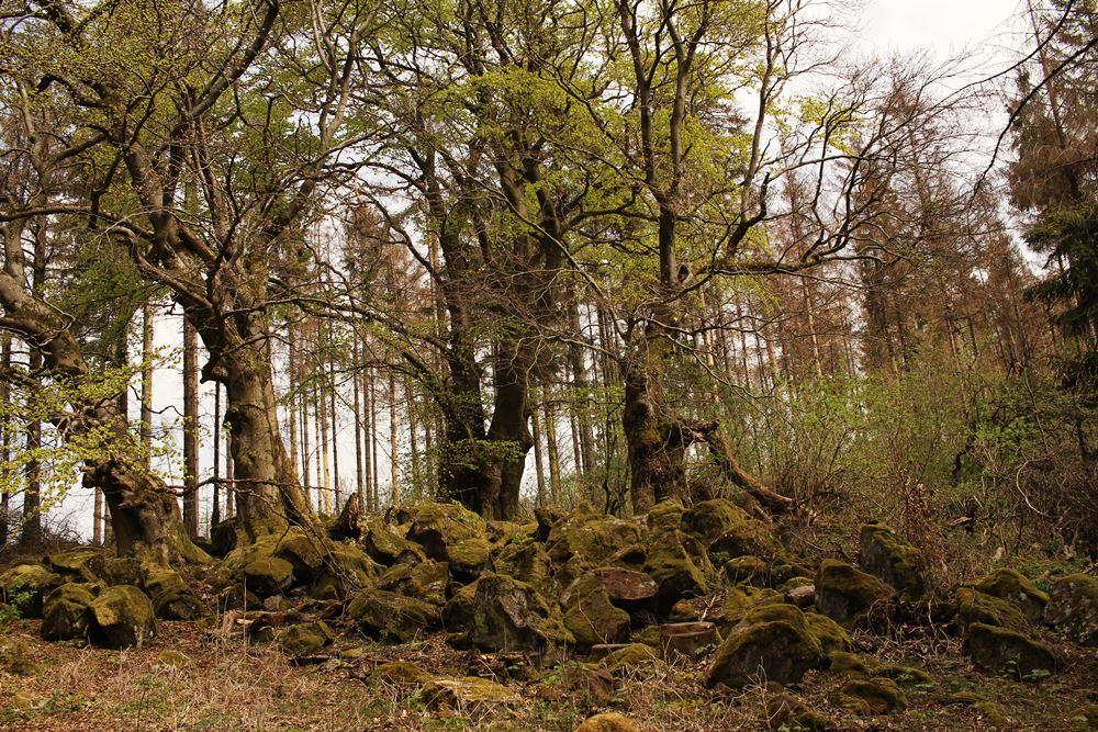 alter Wald im Vogelsberg