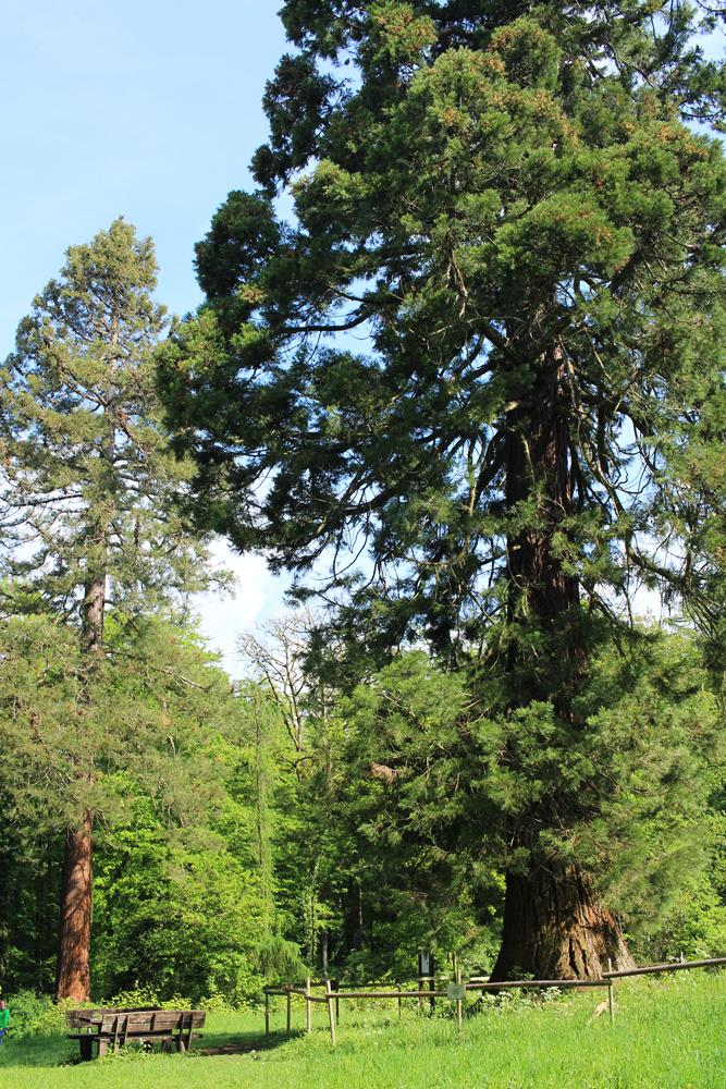 Mammutbaum am Wanderwege im Vogelsberg