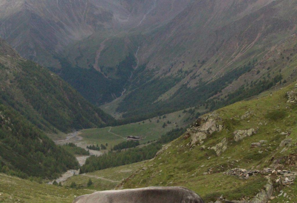 Kuh auf der zweiten von 6 Etappen des Meraner Höhenweg