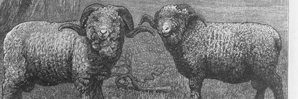Merinokleidung Schaf